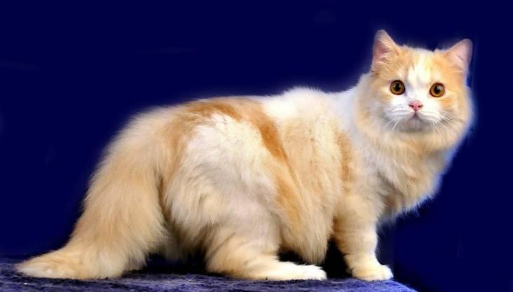 Gambar Kucing Persia Campuran Lokal