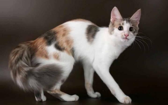 Gambar Kucing Persia Campuran