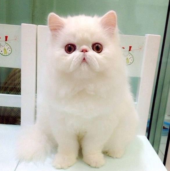 Gambar Kucing Persia Cantik