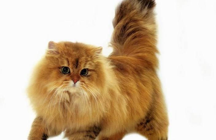 Gambar Kucing Persia Coklat