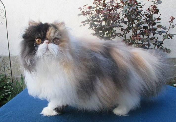 Gambar Kucing Persia Gemuk