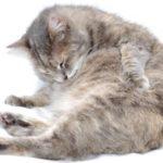Gambar Kucing Persia Hamil