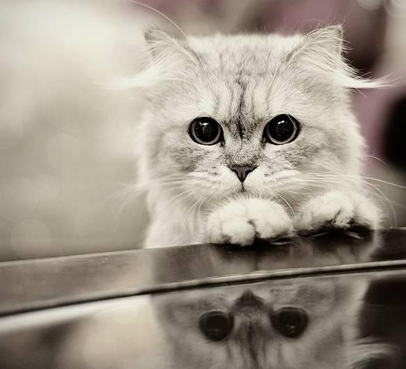 Gambar Kucing Persia Hd