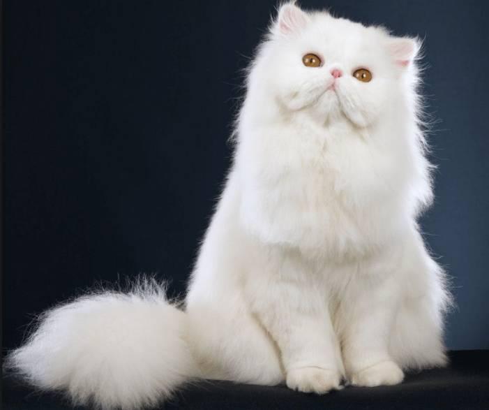 Gambar Kucing Persia Himalaya Putih