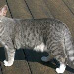 Gambar Kucing Persia Kampung