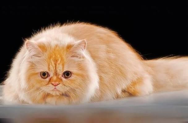 Gambar Kucing Persia Kuning