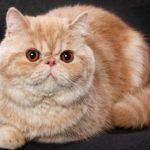 Gambar Kucing Persia Paling Cantik
