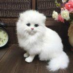 Gambar Kucing Persia Putih