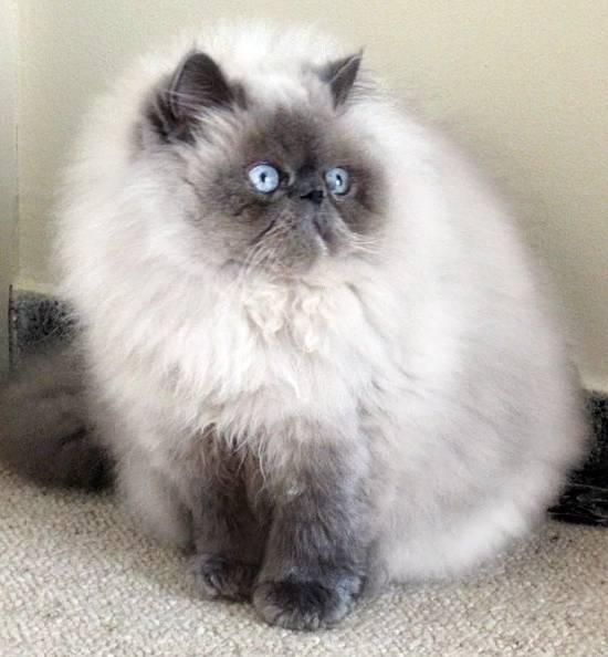 Gambar Kucing Persia Siam