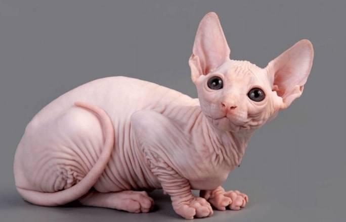 Gambar Kucing Persia Sphinx