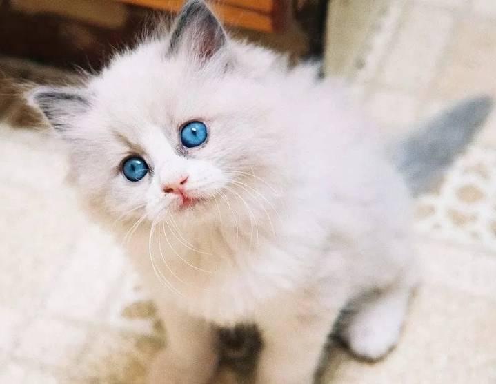 Gambar Kucing Persia Tercantik