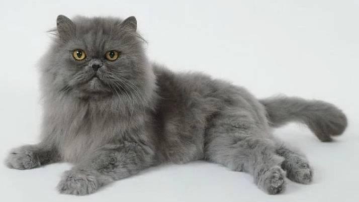 Gambar Kucing Persia Warna Abu