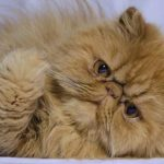 Gambar Kucing Persia Warna Coklat