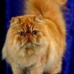 Gambar Kucing Persia Warna Orange