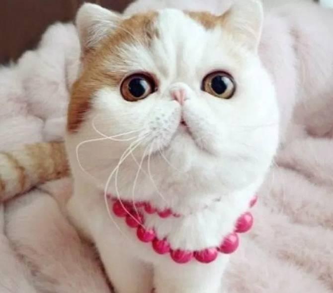 Gambar Kucing Persia Yang Bagus