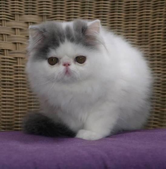 Gambar Kucing Persia Yang Lucu