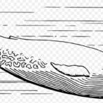 Gambar Sketsa Ikan Paus